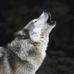wolf, wolves, native american sacred spirit
